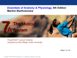 Chapter 7 PPT Muscluar System Anatomyx