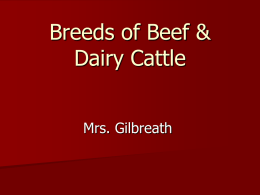 Beef Breed PowerPoint